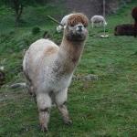 Alpackor är ett kameldjur.