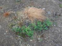 Fler röda lingon fann jag, liksom en hel del blåbär, men jag verkade vara ute för sent för att hitta hjortron.