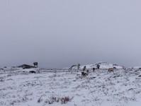 Renar i snön.