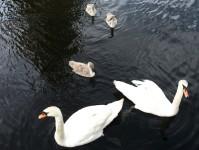 Fem svanar i Bengtsfors.