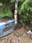 Inte heller denna björk kan ha haft någon lätt uppväxt, då den kilat fast sig mellan en kofångare och fronten på en bil,  på Bilkyrkogården i Båstnäs.