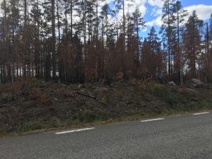 Spår av sommarens skogsbrand längs länsväg 296 mellan Kårböle och Ytterhogdal.