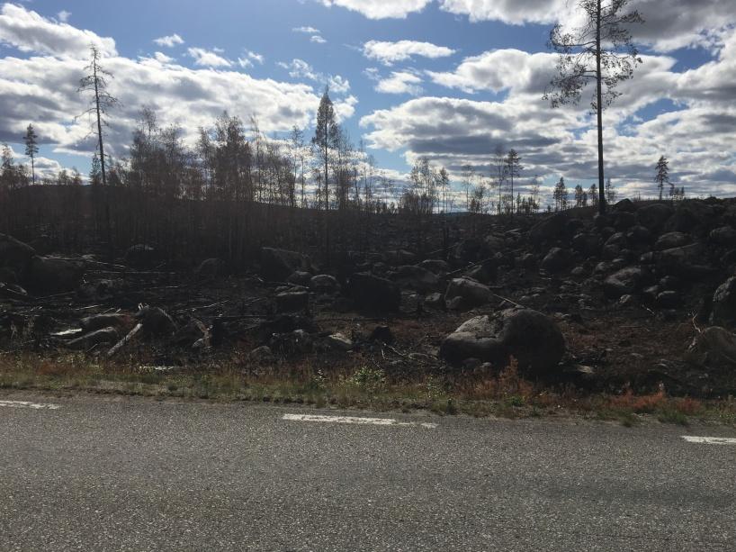 Skogen är svart av sot, efter den varma sommarens skogsbrand längs länsväg 296 mellan Kårböle och Ytterhogdal.
