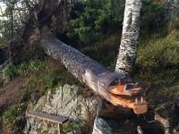 Ett vindfällt träd i Ålesund har fått ett nytt liv som en krokodil.