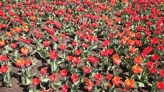 Tulpanerna är den största gruppen bland lökväxterna med påskliljor och narcisser som god tvåa. Det finns närmare 6000 olika tulpaner. Av dem är ca 2600 sorter tillgängliga på världsmarknaden