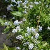 Förgätmigej blå
