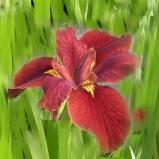 Iris Ann Chowing