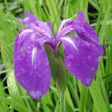 Iris Mottled Beauty Dream