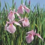 Iris Rose Queen