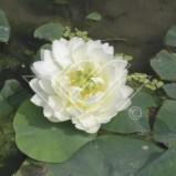 Lotus näckros vit