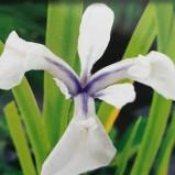 Iris Snowdrift
