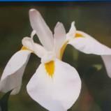 Japansk vit iris