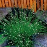 Ampelgräs