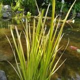 Gräs kalamus gulbrokig