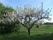 Äppelträdet i blom