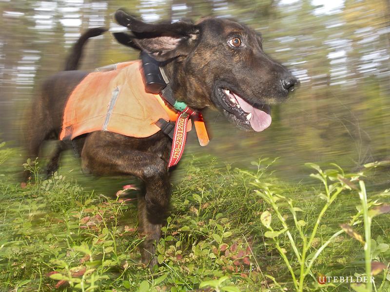 Ruger Junior i Action! Meriterad Björneftersöks hund.
