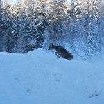 Rådjur på språng Foto: Morgan Karlsson