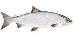 Kalan savustaminen - siika