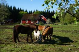Hästarna i hagen.