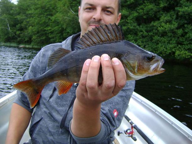 Flugfiskekurs på abborre i Halland - lär dig fiska abborre med fluga för nybörjare. Flugfiskepaket med övernattning i fiskestuga hos Wismens natur & fiske mellan Falkenberg & Ullared