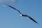 F6.43_Fregattfågel_mån bild maj-15
