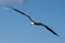 43_Fregattfågel, luftens mästare_maj_redigerad-1