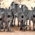 A_Dick Wåhlin_Zebras in Tarangire