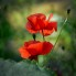 Visning. D_Leif_Red poppy_2