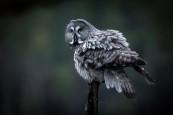Grey Owl, accept
