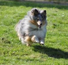 Sheltie, glad hund, löpning
