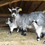 Dag 2: Besök på Smålandet Älgsafari. Förutom älgar finns även getter - här med nyfödd killingtvilling!
