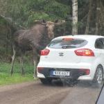 På Smålandet Älgsafari kan man köra runt med egen bil.