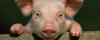 Djurens rätt grisen