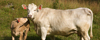Dans för djurens rätt vit ko