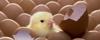 Djurens rätt kyckling