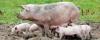 Dnas Göteborg djurens rätt grisar