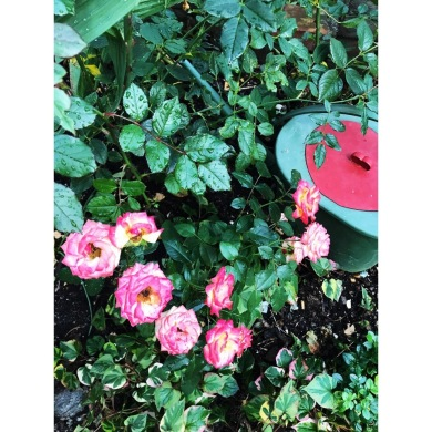 Friends for ever. Friska rosor som håller länge kräver kraftfull jord. Vattna med Guldkannan för lång odlingssäsong.