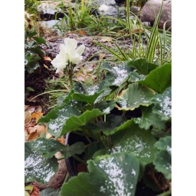 Pelargoner är tuffingar och klarar lite frost. Men idag ska vi ta in dem i svalt och ljust utrymme. Så vilar de till i vår. Då väcker vi dem försiktigt och guldvattnar. ❤️