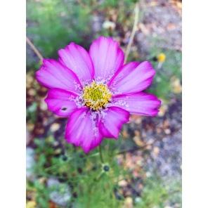 """""""Rosenskäran"""" blommar fast det snöar! Fantastisk, så kallad sommarblomma (ej perenn). Ta frön och så nya i vår. Rosenskäran sjävsår sig också. Den sår sig själv där det finns god jord."""