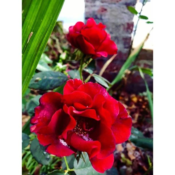 Kanske årets sista ros men vilken ros! Vacker och levande med frost i kronbladen in i det sista. Sedan vissna, vila och i vår tittar bladen upp. Själva blomman kommer på sommaren. Med guldvatten får den alla näringsämnen den behöver, en naturlag utan fabriker, frakter och handlare. Det är miljöarbete det.