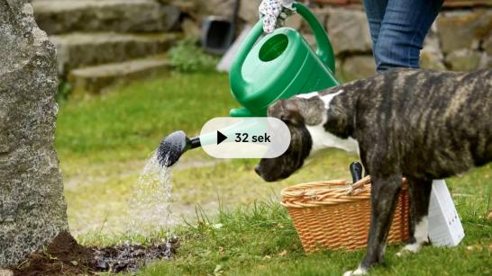 Genom att vattna med kanna och inte med slang går det att spara vatten. Foto: TT