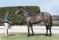 Lot 446 colt, 260.000 NZD