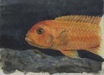Röd Ciklid 1998 Akvarell Privat ägo