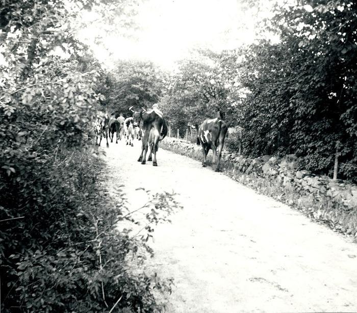 B. 10 1938 och boskap på väg hem från Sörberget på Ljungstorpsvägen. Insatt av Kent Friman, 2014-02-24. Läs mer på www,ljungstorpshistoria.se!
