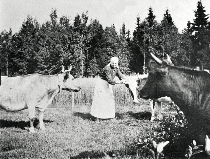 C 4 (2) Margaretha Ullberg ser till korna i beteshagen, Sandbäcken, Ljungstorp 1920. Insatt av Kent Friman, 2014-02-26. Läs mer på www.ljungstorpshistoria.se!