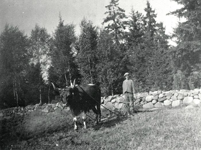 """C. 6 (1) Bror Ullberg, Sandbäcken, plöjer med oxen """"Stjärn"""" år 1930. Insatt av Kent Friman, 2014.02.26. Läs mer på www.ljungstorpshistoria.se!"""