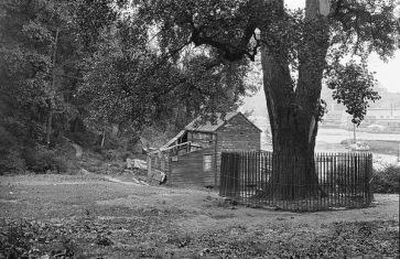 Tulpanträdet under vilket lenape-stammens försäljning av Manhattan sägs ha genomförts 1626. Foto från 1913. Trädet levde till 1932 och var då 220 år  gammalt.