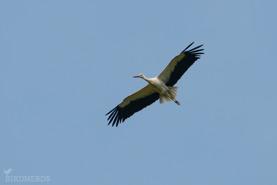 Vit stork-7450