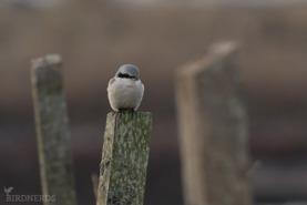 Varfågel-2199