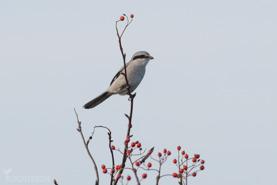 Varfågel-2410
